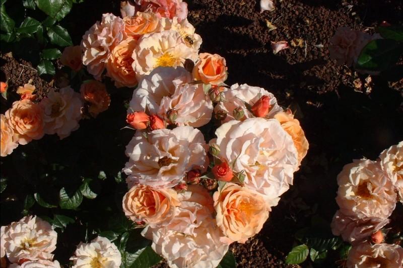 Martin des Senteurs rosier buisson