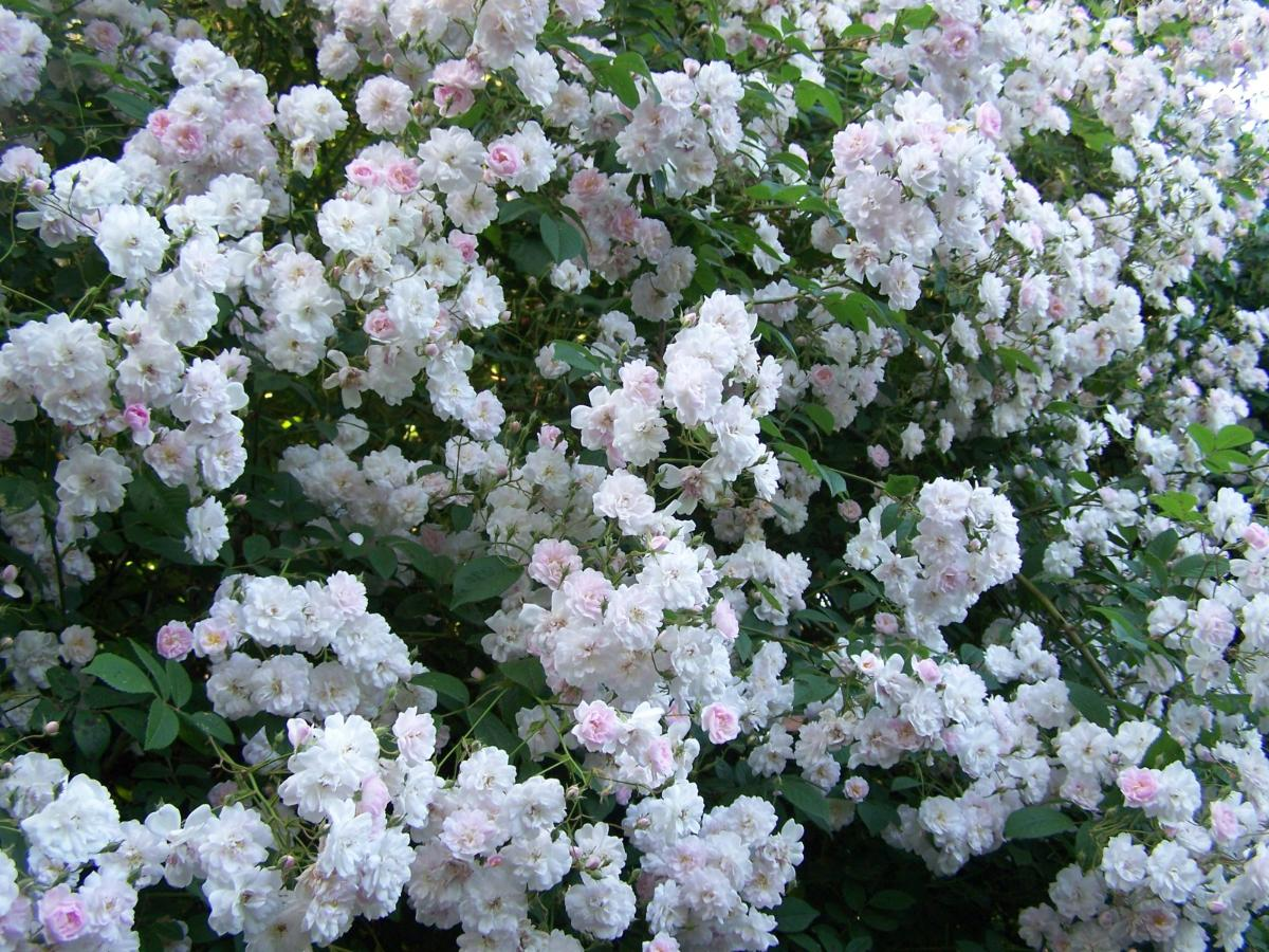 Paul's Himalayan Musk rosier liane