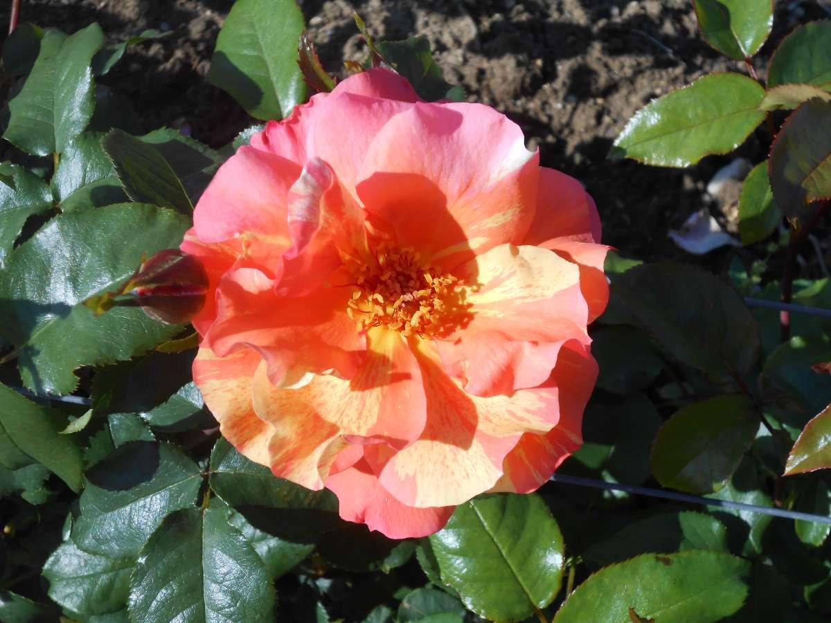 Sorbet Fruité rosier grimpant