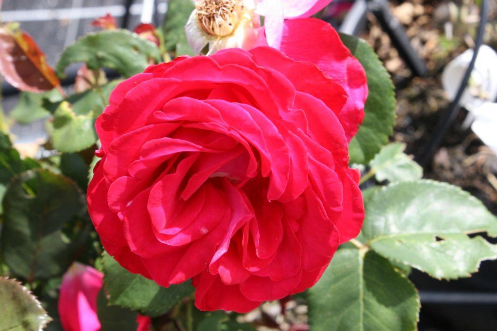 Dominica rosier buisson