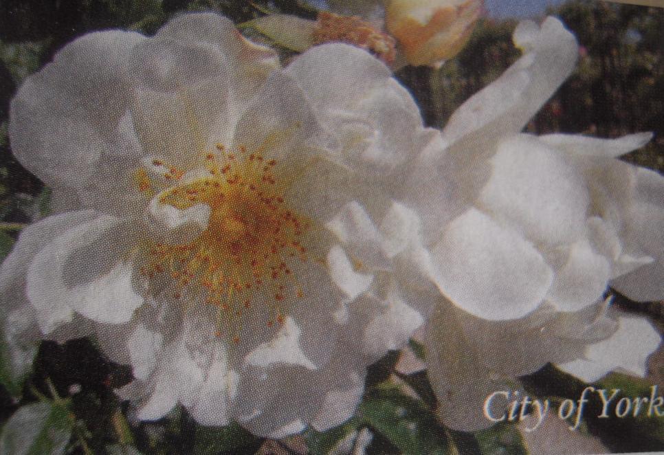 City of York rosier liane