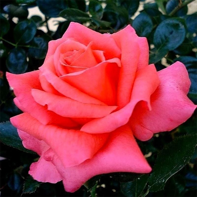 Anne Vanderlove rosier buisson
