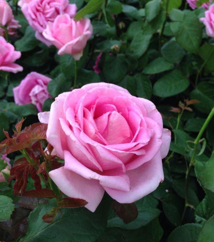 Gerard Depardieu ®Crodantin rosier buisson
