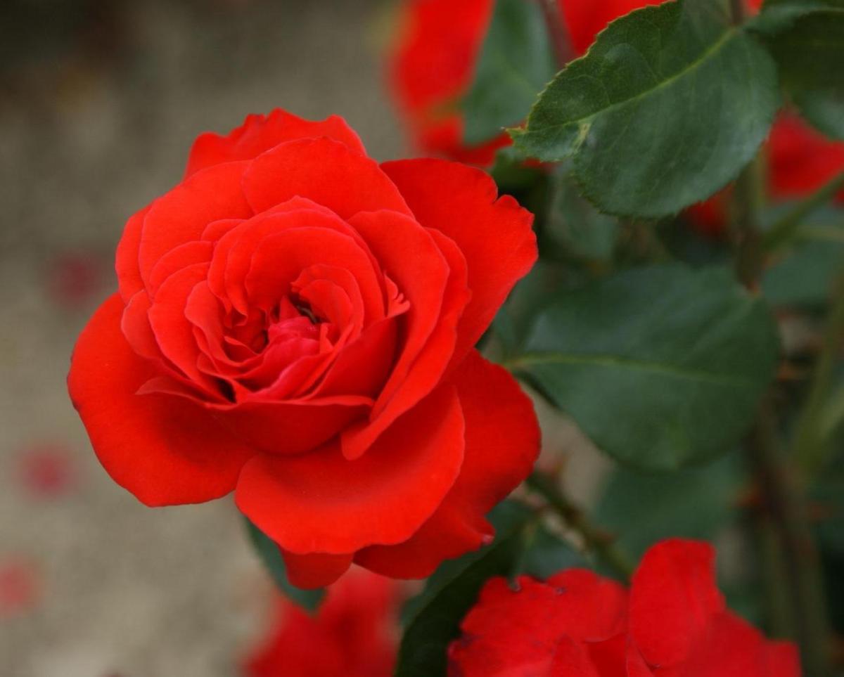 Chorus rosier buisson