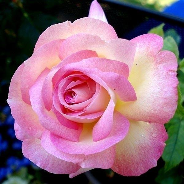 Sweet Delight rosier buisson3