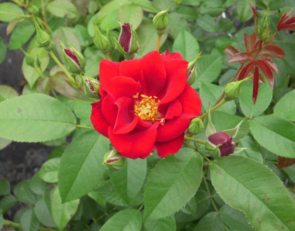 Mykonos rosier buisson