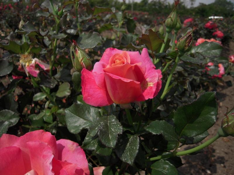 Belle Epoque rosier grimpant4