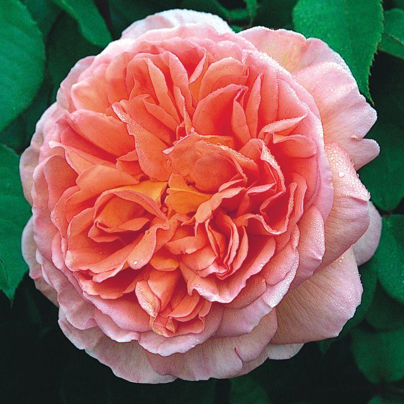 Abraham Darby rosier buisson Anglais