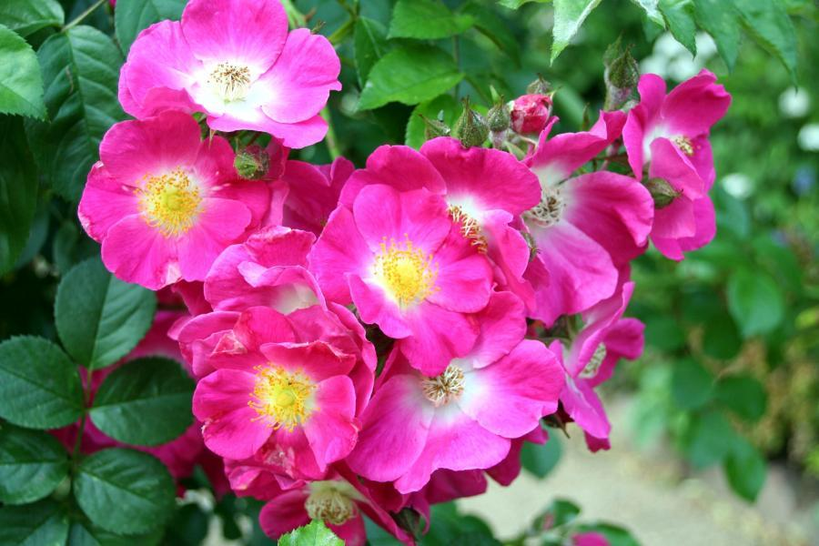 American Pillar rosier liane