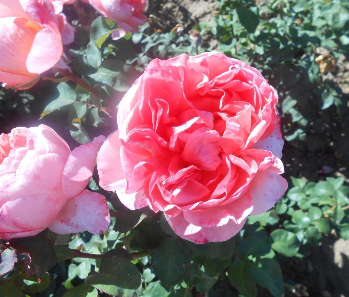 Mademoiselle Meilland rosier buisson