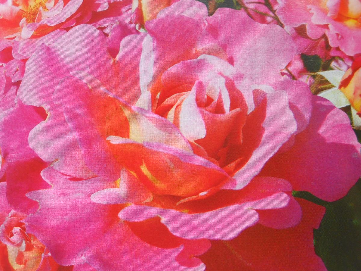 Belle de Clermont rosier buisson