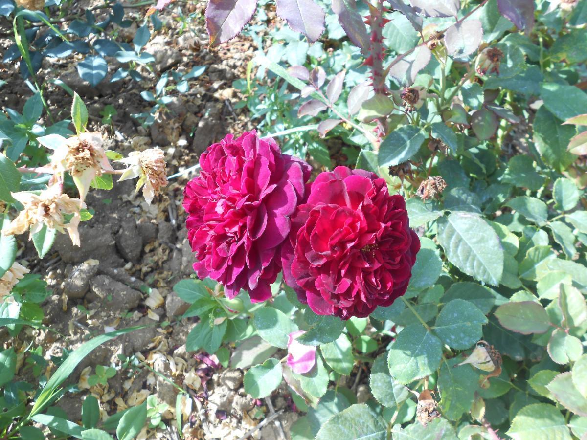 Munstead Wood rosier buisson Anglais3