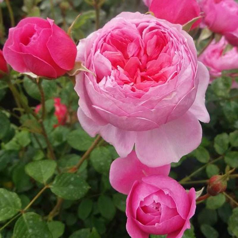 Parc de la Belle rosier buisson