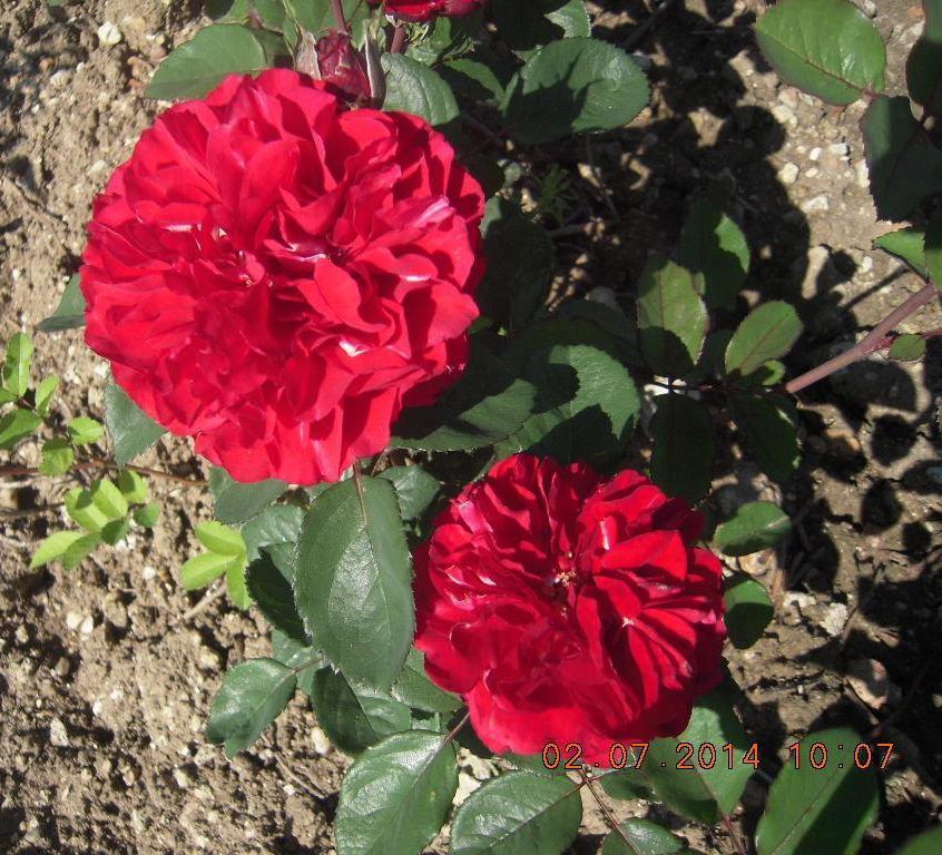 Nadia Renaissance rosier buisson
