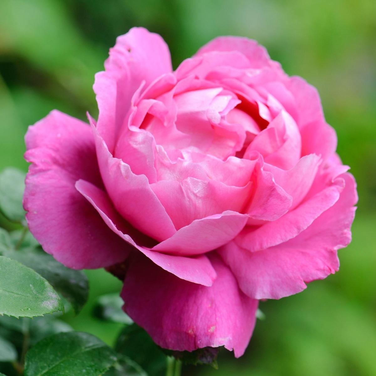 Paul Neyron rosier buisson ancien