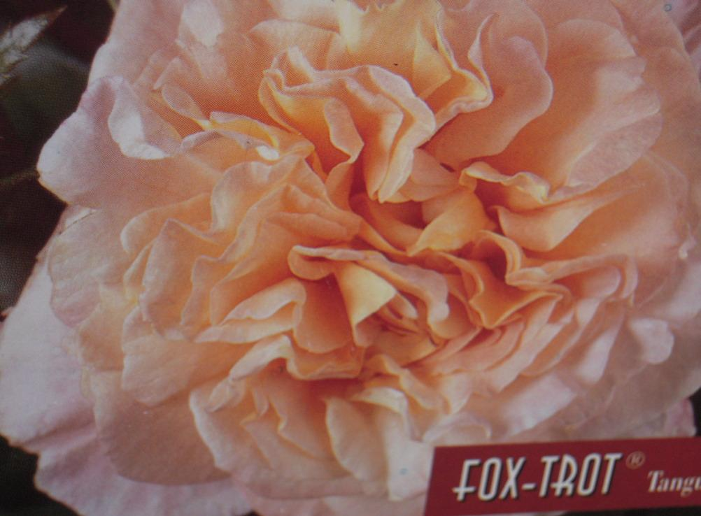 Fox Trot rosier buisson