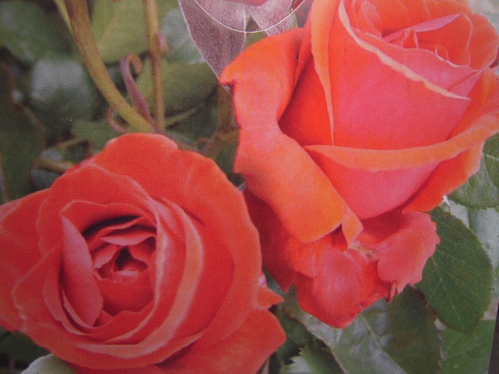 Nuage parfumé rosier buisson