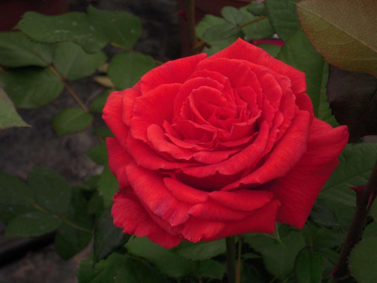 Nuage parfumé rosier buisson3