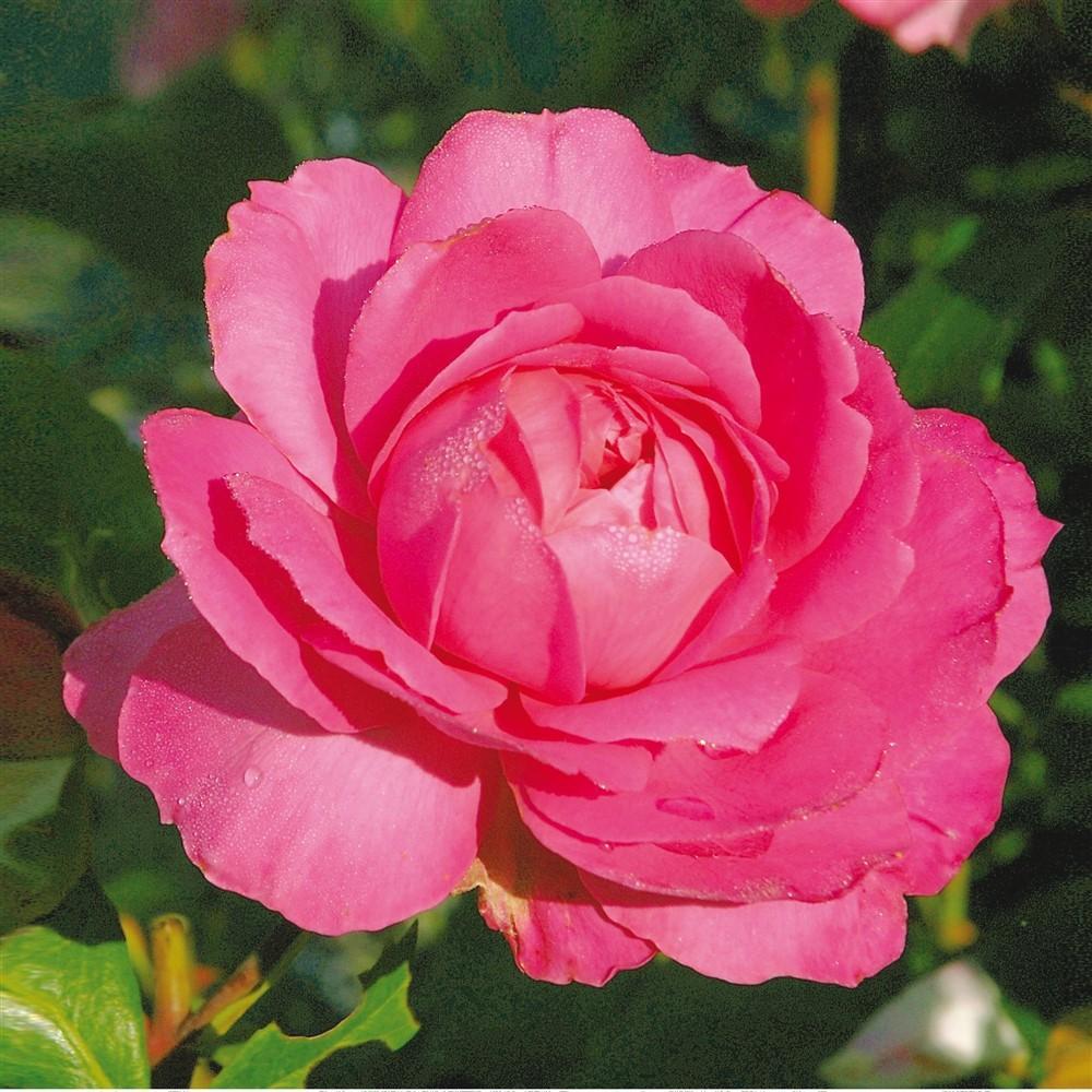 Sylvie Vartan rosier buisson