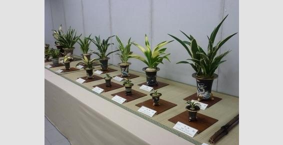 Rohdea japonica :Expo omoto Japon Bonsai Barber