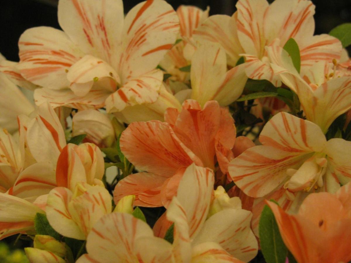 Rhododendron Satsuki Bonsai Barber