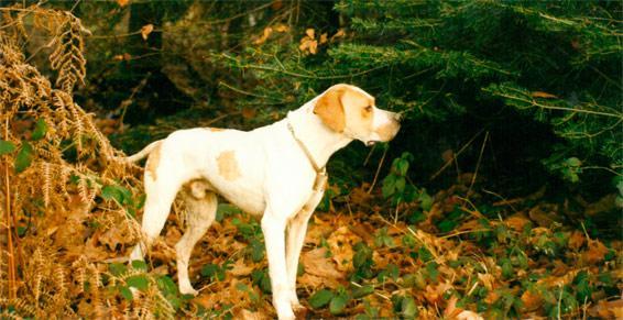 Pensions pour chiens, chats - Arrêt sur bécasse au bois