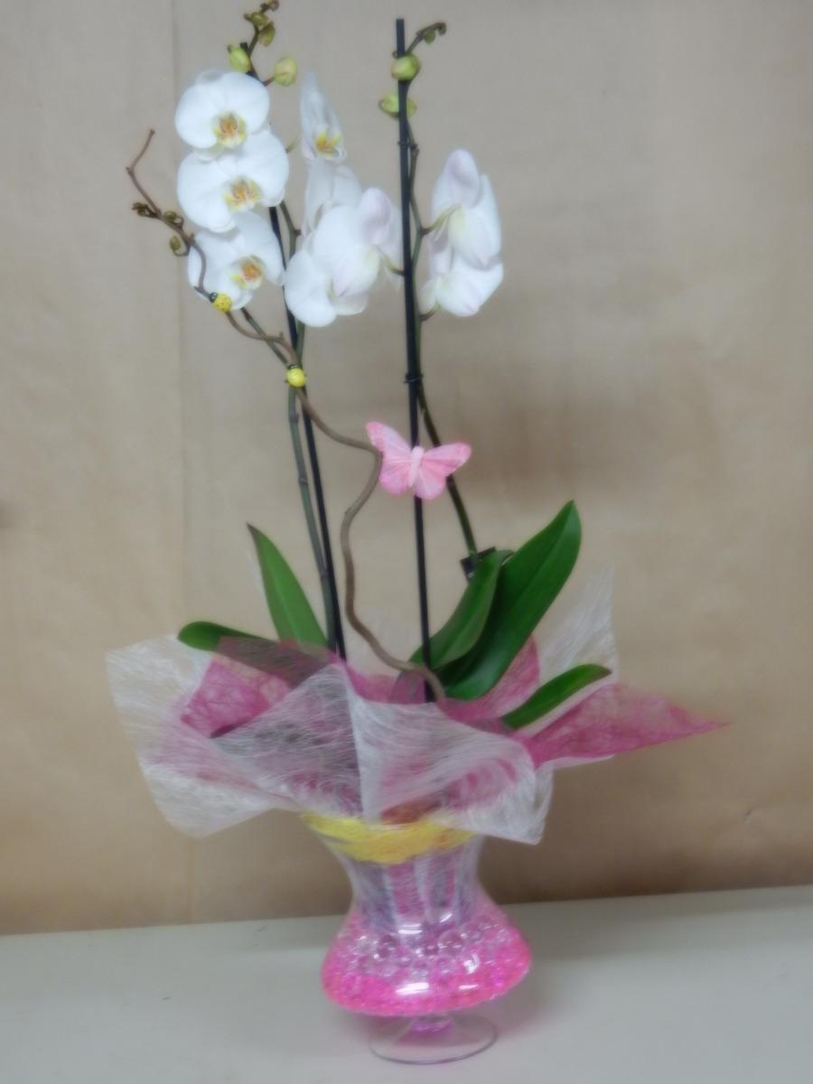 Orchidée phalaenopsis 01