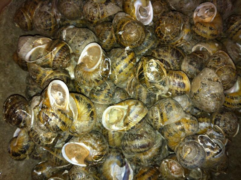 Vente escargots vifs ou transformés