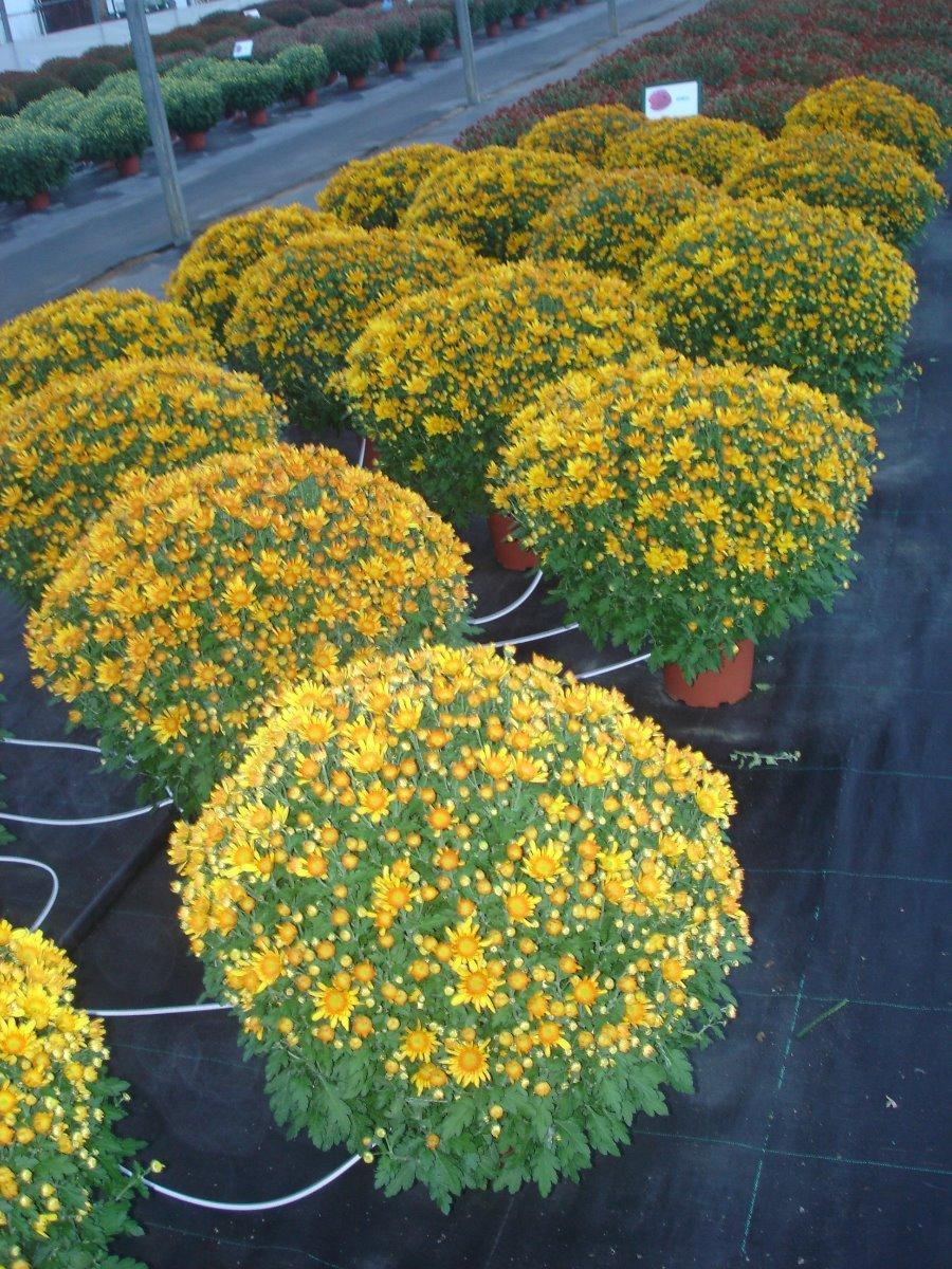 Chrysanthèmes - Le Grand Castaingt à Yzosse