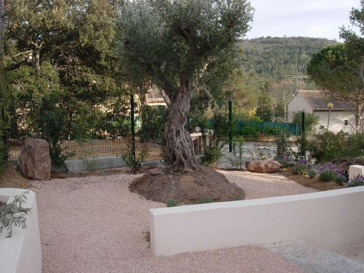 Plantation d'un olivier à Fréjus, dans le Var