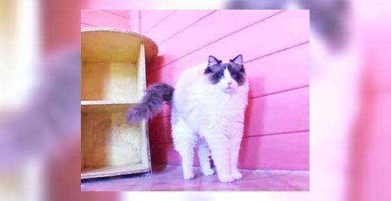 Eleveur de chats Mizerieux 42