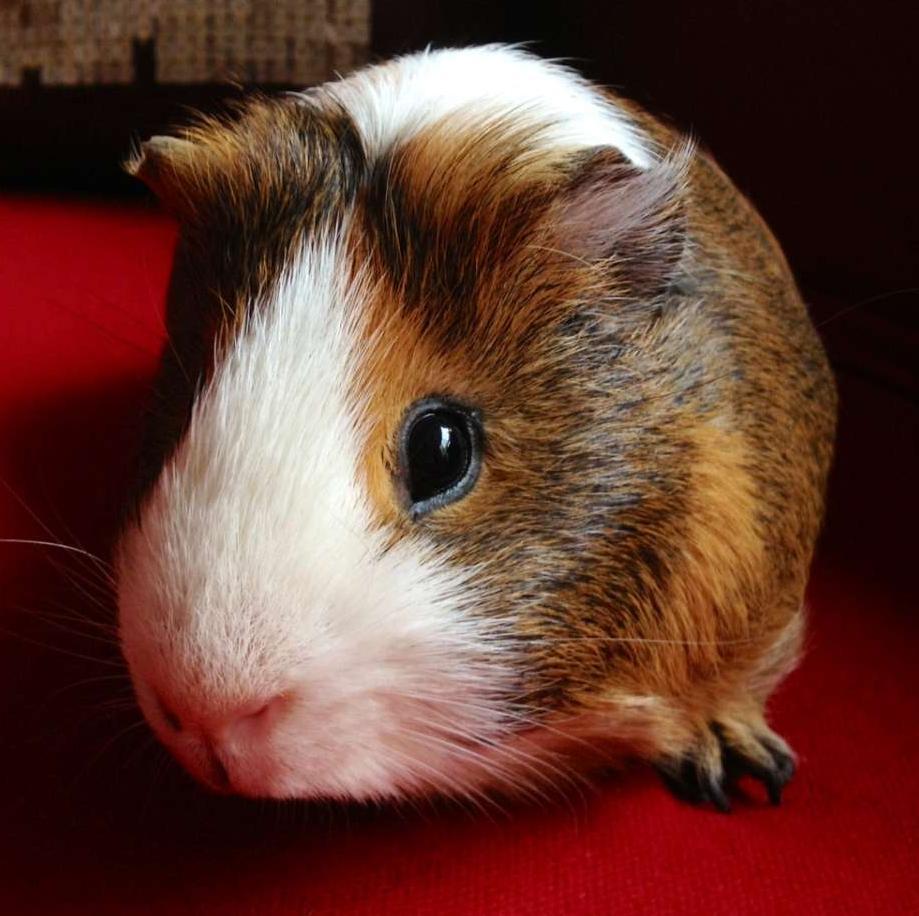 Séances d'ostéopathie pour rongeurs et lapins